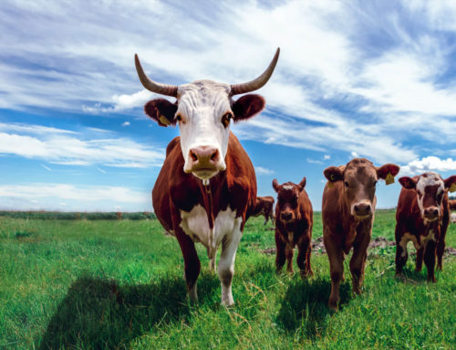 Free Range Cattle Farming
